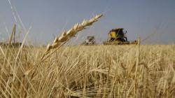 المثنى تسوق 72 ألف طن من الحنطة خلال 25 يوماً