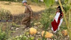 بدء موسم قطف اليقطين في محافظة دهوك