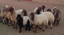 الآسايش تضبط العشرات من رؤوس الاغنام المهربة لإقليم كوردستان