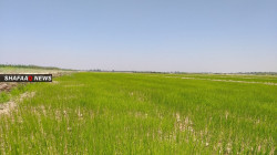 The Federation of Agricultural Associations in Diyala expects the rainfed agriculture to recover soon