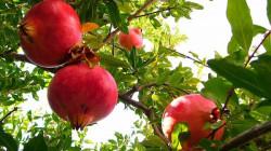 إقليم كوردستان يسمح بإستيراد محصول الرمان