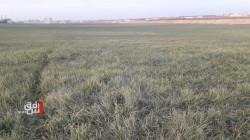 خسائر فادحة لمزارعي صلاح الدين ومخاوف من فشل تسويق الحبوب
