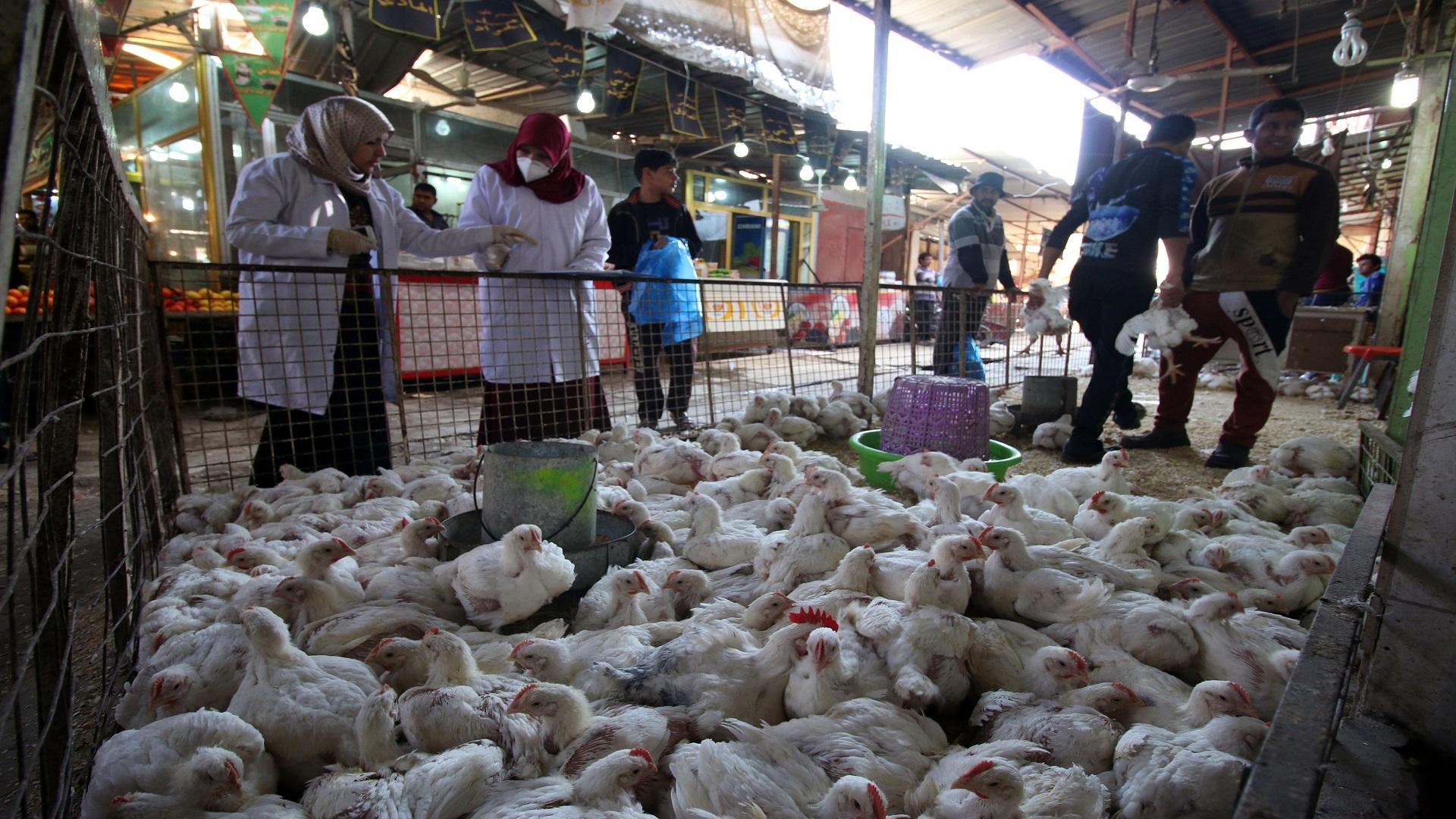 الزراعة تؤكد احتواء بؤرة الإصابة بمرض أنفلونزا الطيور وتدعو لحظر استيراد الدجاج