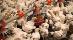 نينوى وواسط تحظران دخول الدواجن لمنع انتقال إنفلونزا الطيور