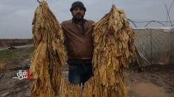 After a gap of decades.. the cultivation of tobacco resurrects in Derik