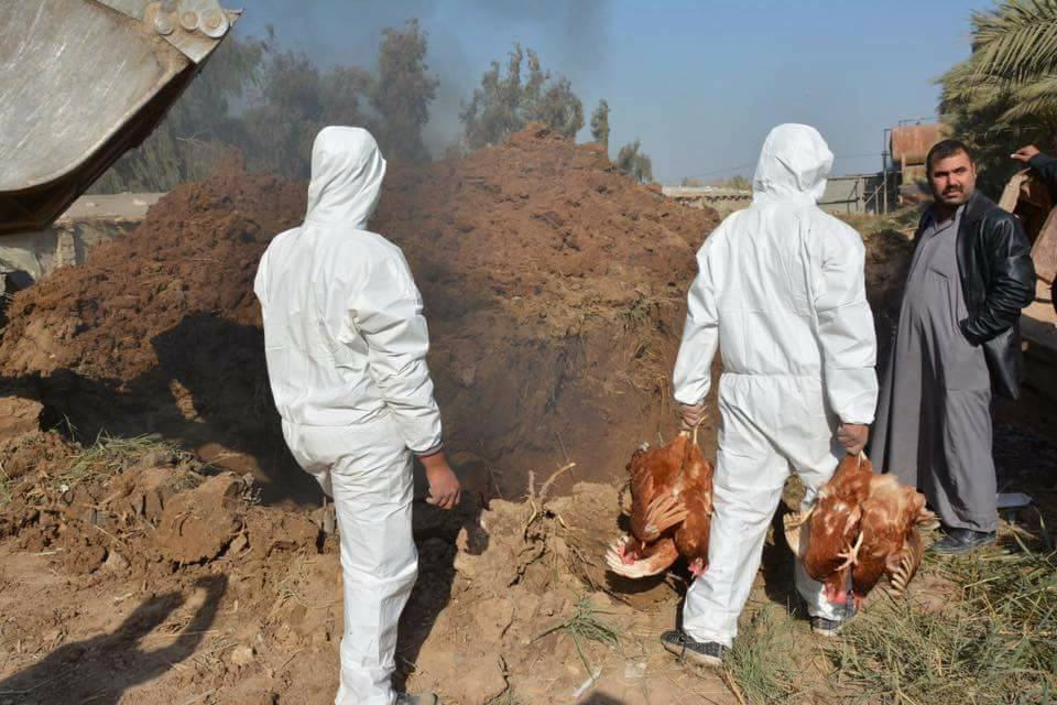 Saladin culls 120 thousand poultry to control avian influenza