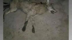 الموصل.. ذئاب تهاجم الأغنام ورعاتها وتخلّف إصابة بشرية
