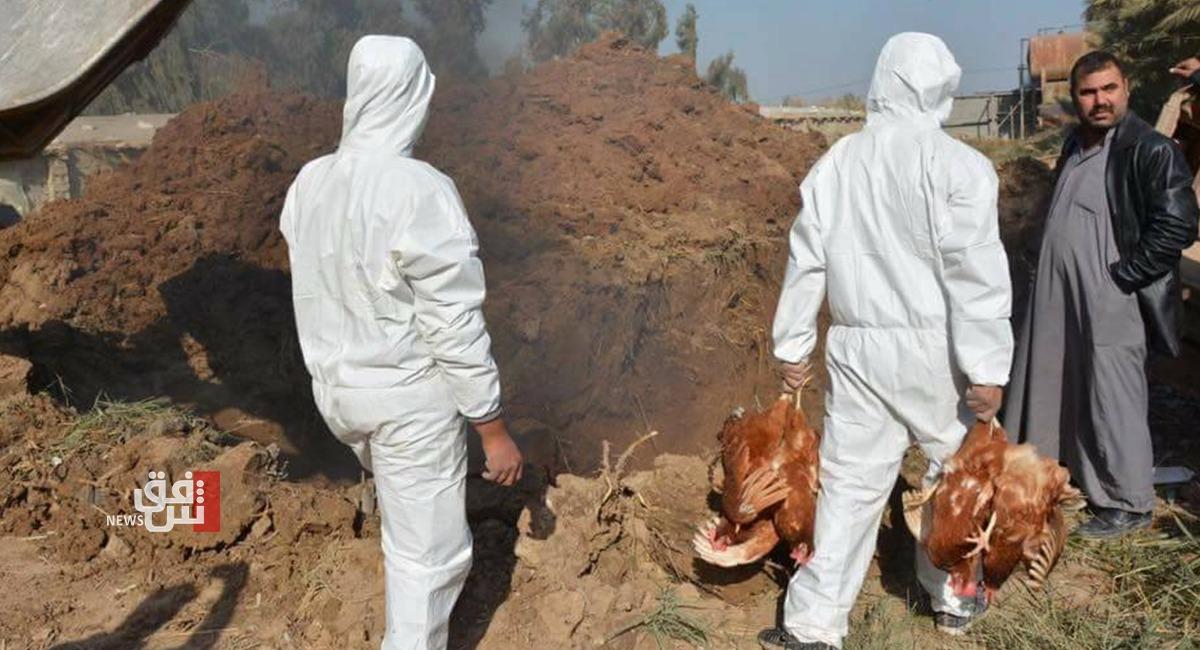 بعد سامراء.. نفوق أكثر من 150 ألف دجاجة في مدينة أخرى بسبب فيروس فتاك