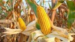 """وزير الزراعة يوافق على تصدير """"الجت ومخلفات الذرة الصفراء"""""""