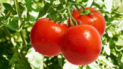 الزراعة ترد على المنافذ الحدودية: لم يتم فتح استيراد أي مادة سوى الطماطم ولمدة 20 يوما