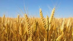 """الديوانية تستهدف أرقاما إنتاجية """"تاريخية"""" لمحصولي الحنطة والشعير"""