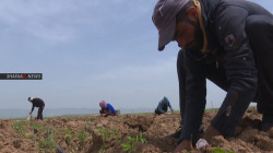 Drought threatens crops in some areas in Erbil