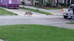 فيديو مرعب.. نمر يتجول في حي سكني بأمريكا