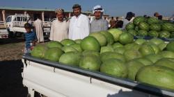 منطقة عراقية تمول البلاد بأكثر من 2000 طن من الرقي يومياً