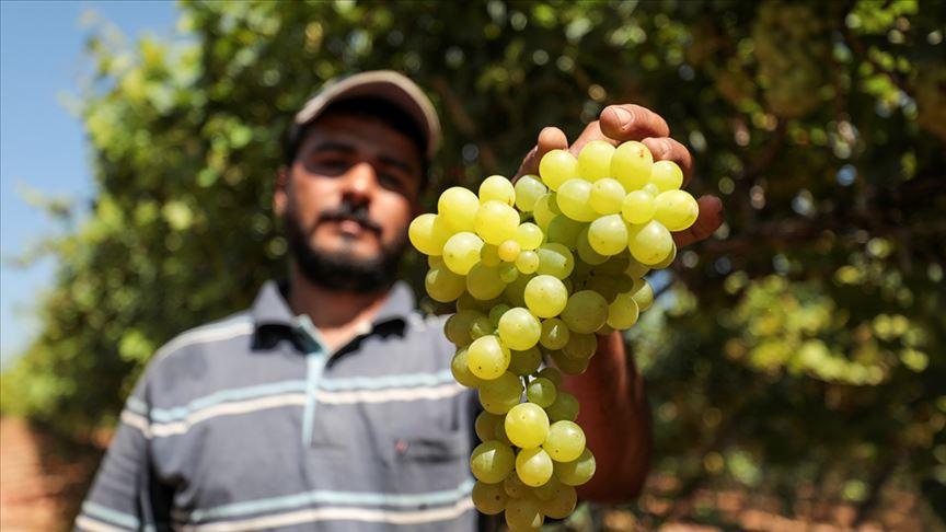 المركزي للإحصاء: العنب الاكثر انتاجا من بين الفواكه الصيفية لعام 2020
