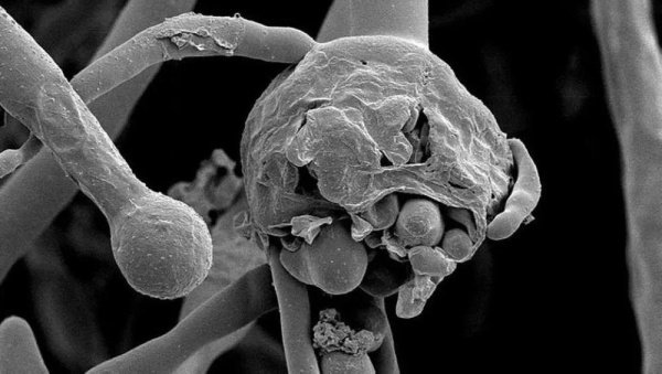 تۆمارکردن یەکەم تووشهاتن قارچک سیا لە واسیت