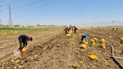 فيديو.. دهوك تقاوم ظروف الطبيعة وتحقق نقلة نوعية بزراعة البطاطا