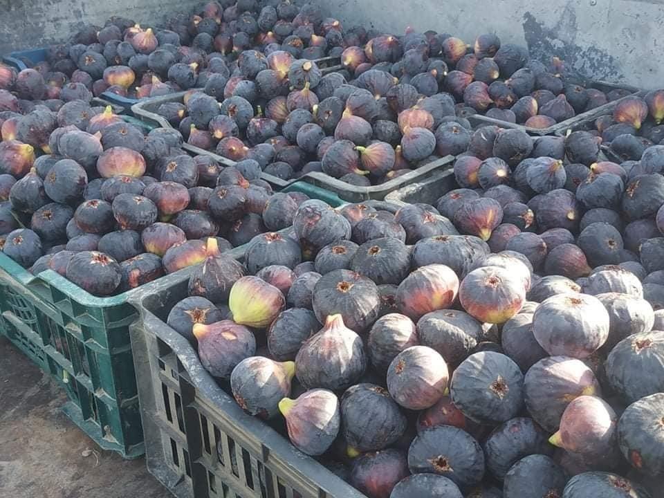 """صلاح الدين تعلن تزايداً بإنتاج التين والتفاح """"الابراهيمي"""" وتمول المحافظات"""