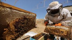 إيلام الفيلية تنتج 580 طناً من العسل خلال خمسة أشهر