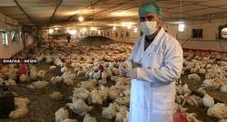 البصرة تنشر 15 فريقاً للحيلولة دون تفشي إنفلونزا الطيور