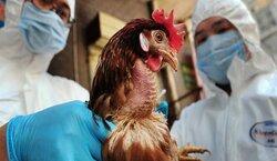 البصرة تعلن ظهور بؤرة جديدة لانفلونزا الطيور