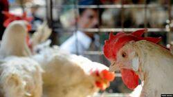 الاشتباه باصابات بانفلونزا الطيور في نينوى